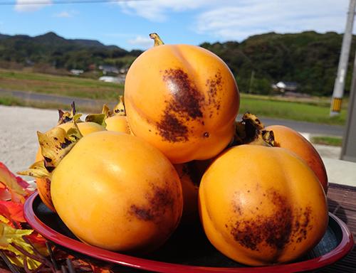 ギフト用の西条柿、きらめ輝